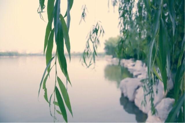 七月的柳树