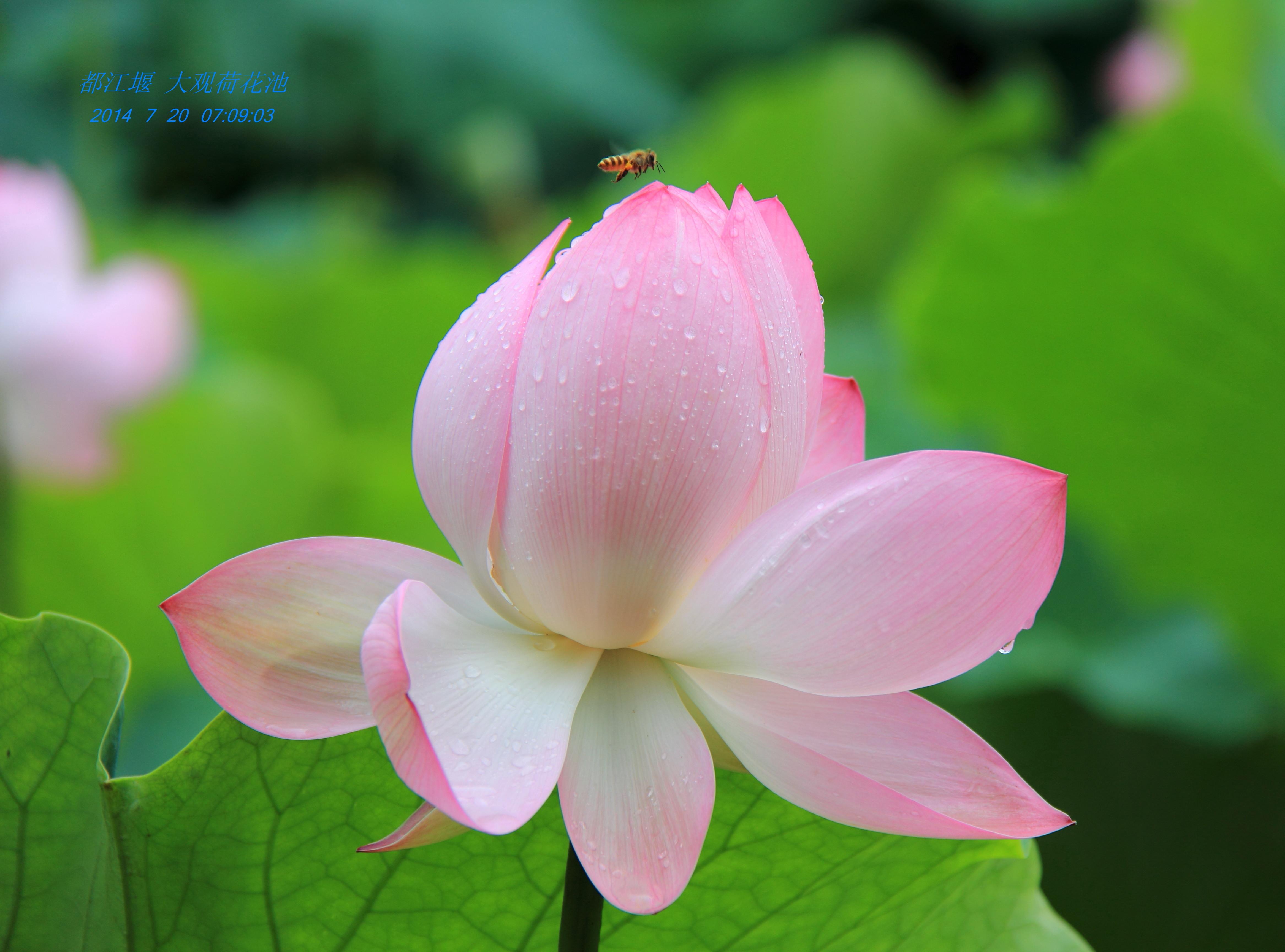 微信 头像 花朵 莲花
